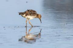 Ruff water bird Philomachus pugnax Ruff in water. Wildlife stock images