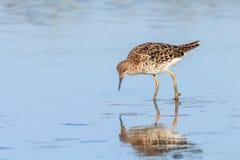 Ruff water bird Philomachus pugnax Ruff in water. Wildlife royalty free stock photo