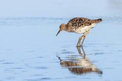 Ruff water bird Philomachus pugnax Ruff in water. Wildlife stock photo