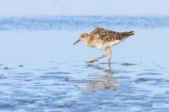 Ruff water bird Philomachus pugnax Ruff in water. Wildlife royalty free stock photography