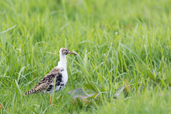 Ruff in wild. Ruff bird walking in grass Royalty Free Stock Photos