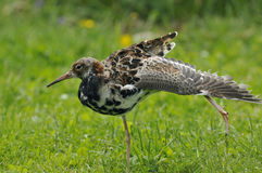 Ruff wing stretching Stock Image