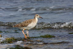 Ruff with winter plumage. Ruff (philomachus pugnax) with winter plumage standing in water Royalty Free Stock Photo