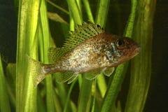 Ruffe, рыба cernuus Gymnocephalus Стоковая Фотография