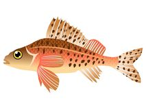 Ruffe Stock Photography
