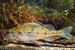 Ruffe, cernua de Gymnocephalus, ruffe o papa eurasiático, pequeño pescado despredador de agua dulce, vista lateral en aguamarina  imágenes de archivo libres de regalías