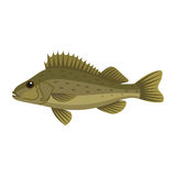 Ruffe pope eurasian fish Royalty Free Stock Photography