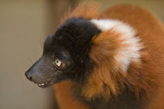 ruffed的狐猴红色 免版税库存图片