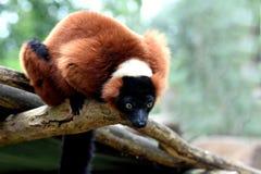 ruffed的狐猴红色 免版税图库摄影