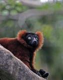 ruffed的狐猴红色 免版税库存照片