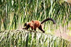 ruffed красный цвет lemur Стоковое Изображение RF