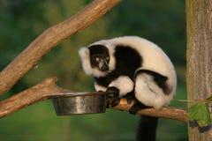 ruffed обезьяна lemur Стоковые Фото