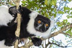 黑白ruffed狐猴 库存图片