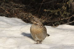 Ruffed grouse 1. A ruffed grouse strutting in early spring Stock Photos