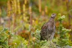 Ruffed Grouse Stock Photos