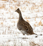 Ruffed Grouse Royalty Free Stock Images