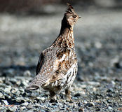 ruffed grouse Arkivbilder