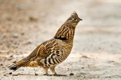 Ruffed Grouse. Adult Ruffed Grouse Strutting On Gravel Track royalty free stock photo