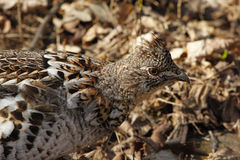 Ruffed Grouse Arkivfoto