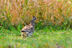 Ruffed Grouse Stock Images