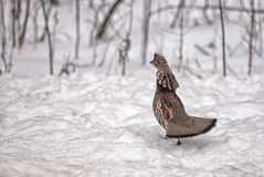 Ruffed Grouse Royalty Free Stock Photos