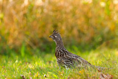 Ruffed Grouse Royaltyfri Foto