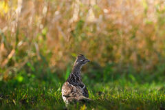 Ruffed Grouse Royalty Free Stock Photography