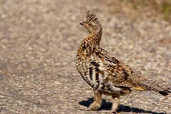 Ruffed grouse. Ruffed grouse on ground in fall of the year Royalty Free Stock Images