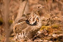 Ruffed grouse. Ruffed grouse on ground in fall of the year Stock Photo