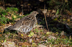 ruffed grouse Royaltyfri Bild