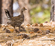 Ruffed Grouse. Foraging in Forest Royalty Free Stock Photos