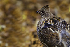 Ruffed grouse autumn Stock Image