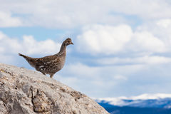 Ruffed Grouse Bonasa umbellus bird watching Stock Photography