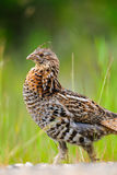 Ruffed Grouse (Bonasa umbellus) Stock Photos