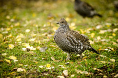 Ruffed Grouse in fall. Ruffed Grouse walking among yellow and gold aspen leaves Royalty Free Stock Photography
