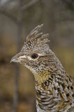 Ruffed Grouse head shot Royalty Free Stock Images