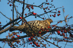 Ruffed Grouse In Tree Stock Images