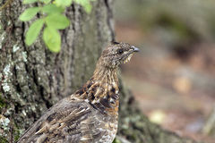 Ruffed Grouse in the North Woods Royalty Free Stock Images