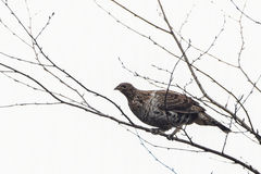 Ruffed grouse perched on branch Royalty Free Stock Photos