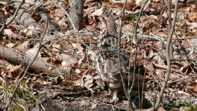 Ruffed grouse in Quebec. Canada, north America. Ruffed grouse in Quebec. Canada north America stock photography