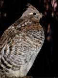 Ruffed Grouse Sitting. An alert ruffed grouse sits on a perch in front of a pink sunset Stock Photos
