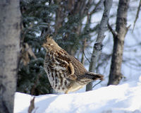 Ruffed Grouse in winter snow. Ruffed Grouse in forest during winter snow Stock Image