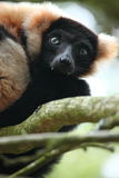Ruffed Lemur Royalty Free Stock Images