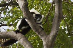 ruffed lemur Стоковые Фотографии RF