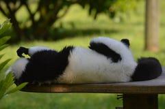 ruffed lemur Стоковая Фотография