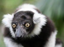 ruffed lemur Arkivbilder