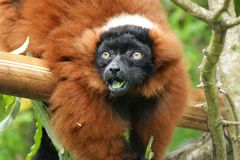 Ruffed lemur Amazed stock photography