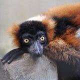 Ruffed-lemur crouching on rock, largest lemur Stock Photo