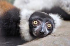 Ruffed-lemur crouching on rock, largest lemur Royalty Free Stock Photography