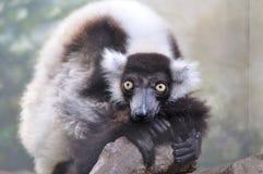 Ruffed-lemur crouching on rock, largest lemur Stock Image